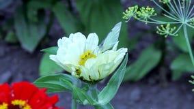 Fjärilsdrinknektar på blommor stock video