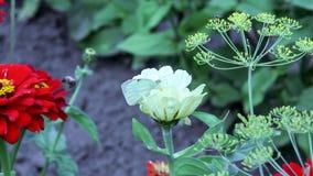 Fjärilsdrinknektar på blommor lager videofilmer