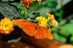 FjärilsDryasiulia Arkivfoto