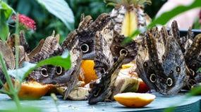 Fjärilsfestmåltid Arkivfoton