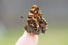 fjärilsfinger Fotografering för Bildbyråer