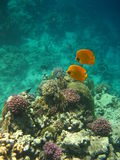 fjärilsfisk Royaltyfria Bilder