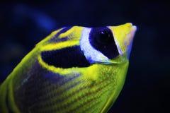 Fjärilsfisk Fotografering för Bildbyråer