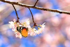 Fjärilsfluga i den Sakura våren Arkivfoto