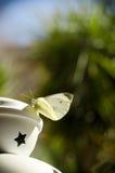 Fjärilsflugan bort gillar en stjärna Arkivbilder