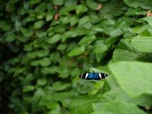 fjärilsheliconius som longwing sara Royaltyfri Bild