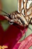 Fjärilshuvud Arkivfoton