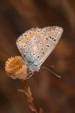 fjärilsicarus polymmatus Arkivbilder