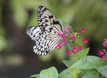 Fjärilsidé Leuconoe Arkivbild