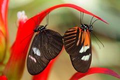 fjärilsihopparning arkivbilder