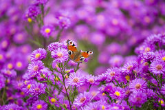 FjärilsInachis io på purpurfärgade blommor Royaltyfri Bild