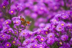 FjärilsInachis io på purpurfärgade blommor Royaltyfri Foto