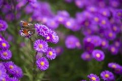 FjärilsInachis io på purpurfärgade blommor Arkivfoton