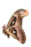 fjärilsjättemal Arkivbild