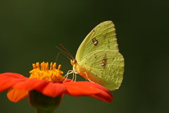 fjärilsjättesulphur Arkivfoto