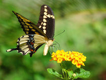 fjärilsjätteswallowtail Arkivfoto