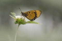 Fjärilsjakthonung Royaltyfri Bild
