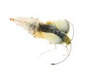 fjärilskålkokong som ut kommer royaltyfri bild
