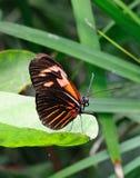 fjärilskant arkivbilder