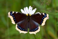 fjärilskappasorg Royaltyfri Foto
