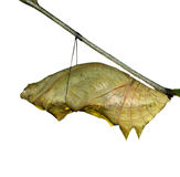 fjärilskokong arkivfoto
