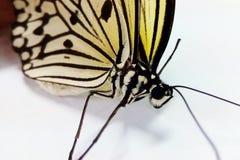 Fjärilskryp Arkivbild
