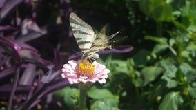 Fjärilsländer på en blomma royaltyfria foton