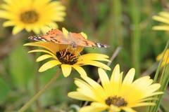 fjärilsladyen målade Arkivfoton