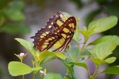 Fjärilslandning Arkivfoton