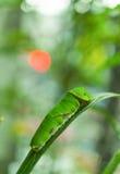 Fjärilslarv på citronträdet, slut upp Royaltyfri Foto