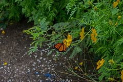 Fjärilsliv, Barbados arkivbild