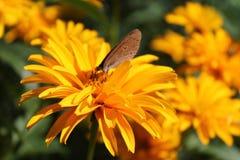 Fjärilsmakro Arkivfoto