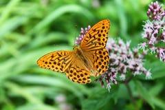 Fjärilsmakro i en trädgård Arkivbilder