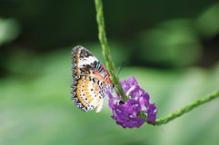 Fjärilsmatning Royaltyfri Bild