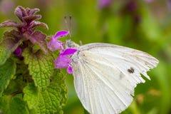 Fjärilsmatning Arkivbilder