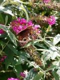 Fjärilsmatning Royaltyfria Bilder