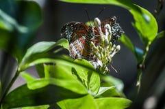 Fjärilsmatningar på blommor arkivfoto