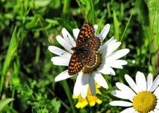 Fjärilsmelitaeaathalia Arkivfoto