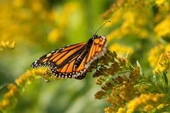 fjärilsmonark Royaltyfria Bilder