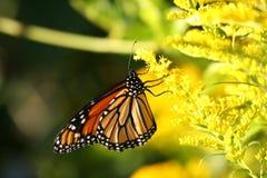 fjärilsmonark fotografering för bildbyråer