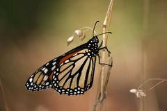 fjärilsmonark Royaltyfri Foto