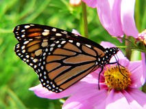 fjärilsmonark Royaltyfri Fotografi