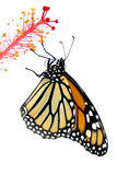 fjärilsmonark Arkivbild