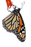 fjärilsmonark Arkivfoton