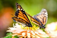 fjärilsmonark Royaltyfri Bild