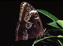 fjärilsmorpho Arkivfoto