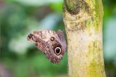 FjärilsMorpho peleides på trädstammen fotografering för bildbyråer
