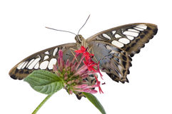 fjärilsmorphopeleides Arkivfoton