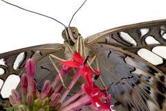 fjärilsmorphopeleides Royaltyfri Foto