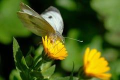 Fjärilsnärbildskott i det löst arkivfoton